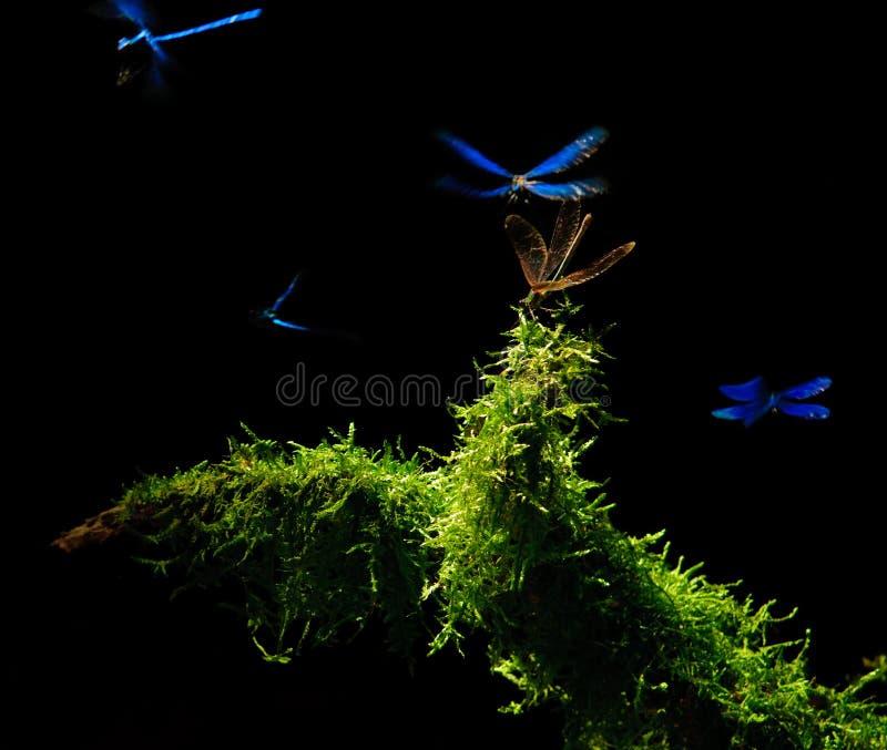 dancingowi dragonflies obraz stock