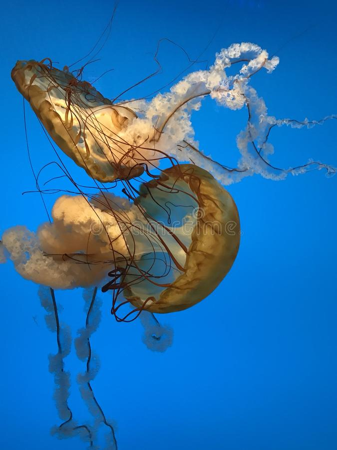 Dancingowi Jellyfish fotografia stock
