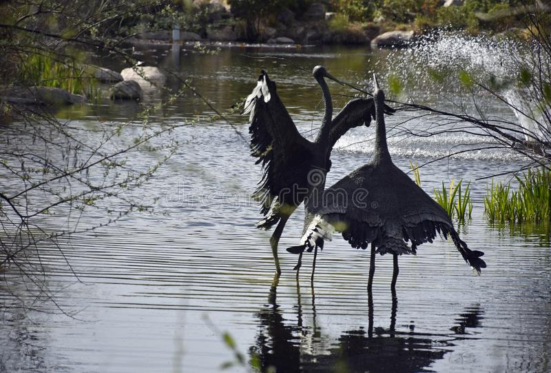 Dancingowi Wodni ptaki na pogodnym letnim dniu zdjęcie royalty free