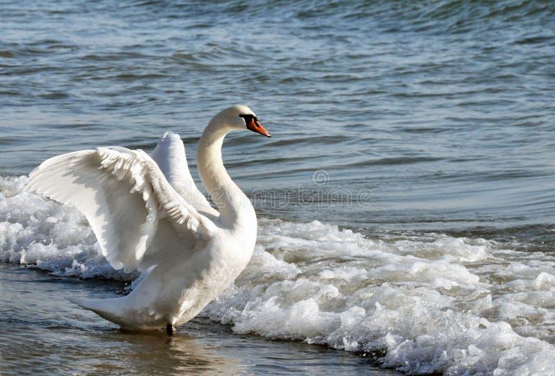 Download Dancingowy łabędź obraz stock. Obraz złożonej z piórka - 28954497