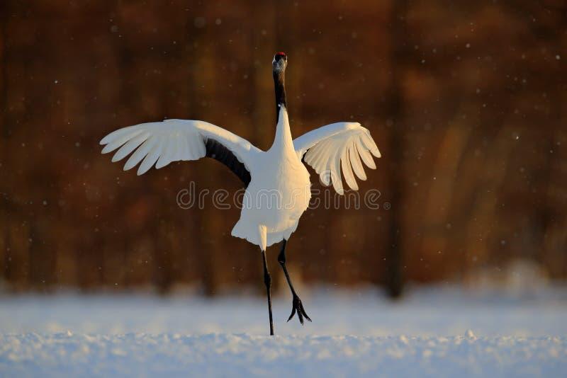 Dancingowy biały ptak Koronujący żuraw, Grus japonensis z otwartym skrzydłem z śnieżną burzą, podczas zmierzchu, hokkaido, Japoni obraz royalty free
