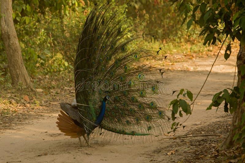 Dancingowy królewiątko! Indiański peafowl lub błękitny peafowl fotografia royalty free