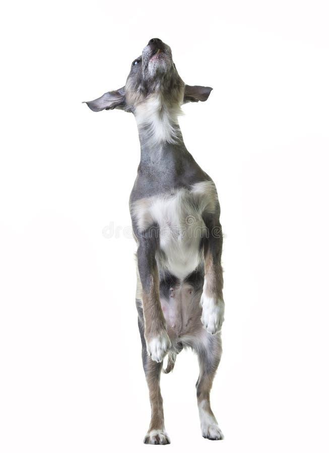 Dancingowy pies fotografia stock