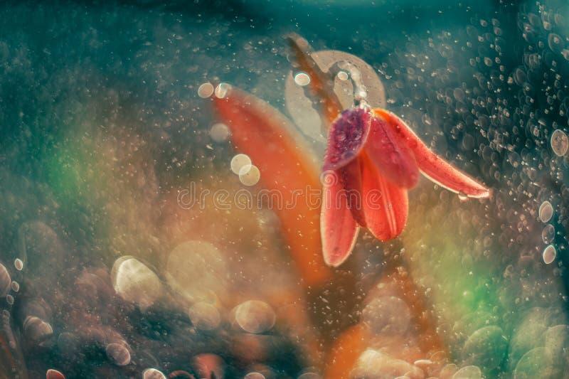 Dancingowy tulipan w bąblach fotografia royalty free