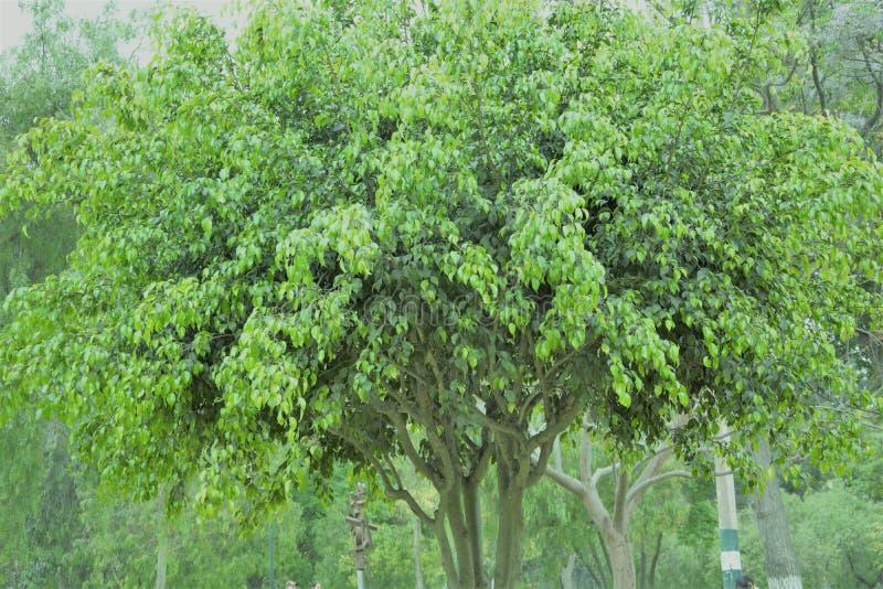 Dancingowy zielony drzewo z mnóstwo liśćmi fotografia stock