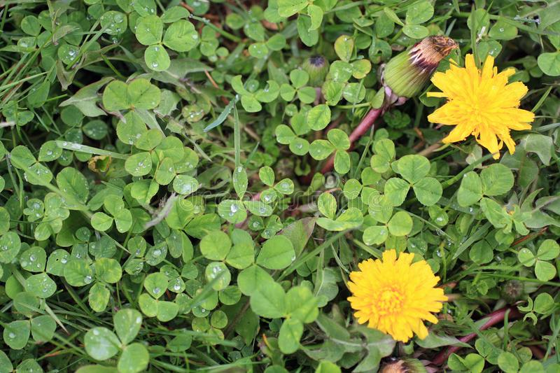 Dandeliion flowers two and one bud and Clovers blooming in lawn stock photos