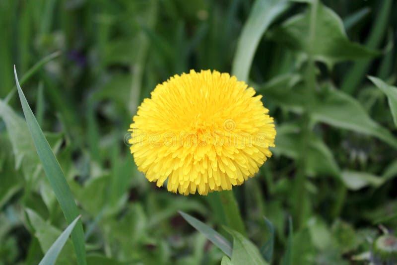 Dandelion żółty kwiat na zieleni opuszcza tło obrazy royalty free