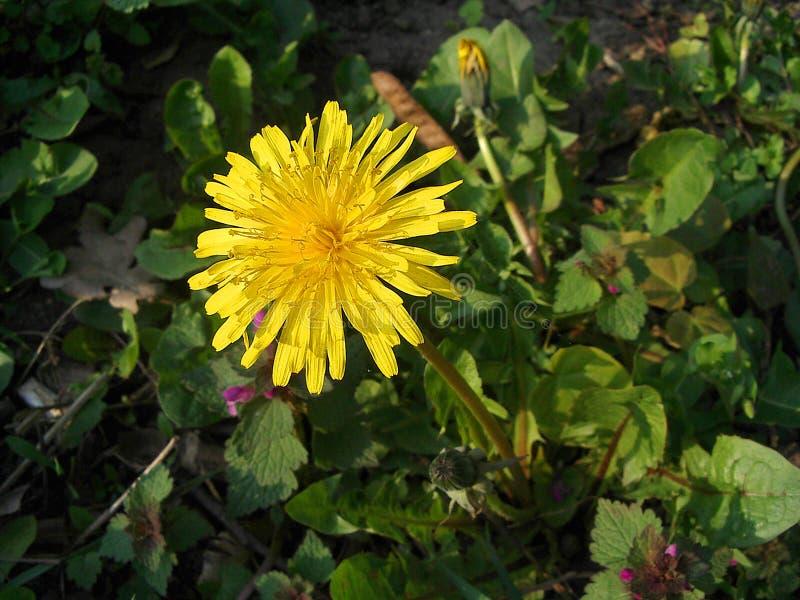 Download Dandelion stock image. Image of blooming, garden, flower - 2369