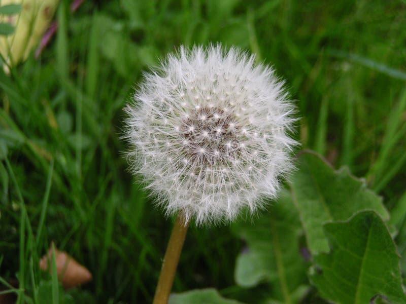 Download Dandelion stock image. Image of head, cluster, seeds, dandilion - 8689
