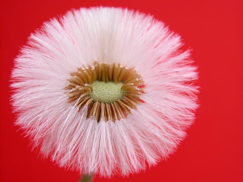 Download Dandelion stock photo. Image of flower, puff, transformation - 119806