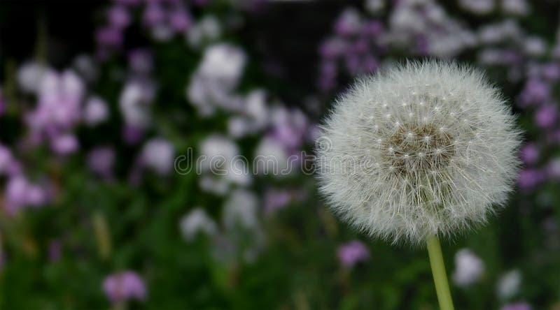 Download Dandelion stock photo. Image of grass, purple, green, garden - 123794