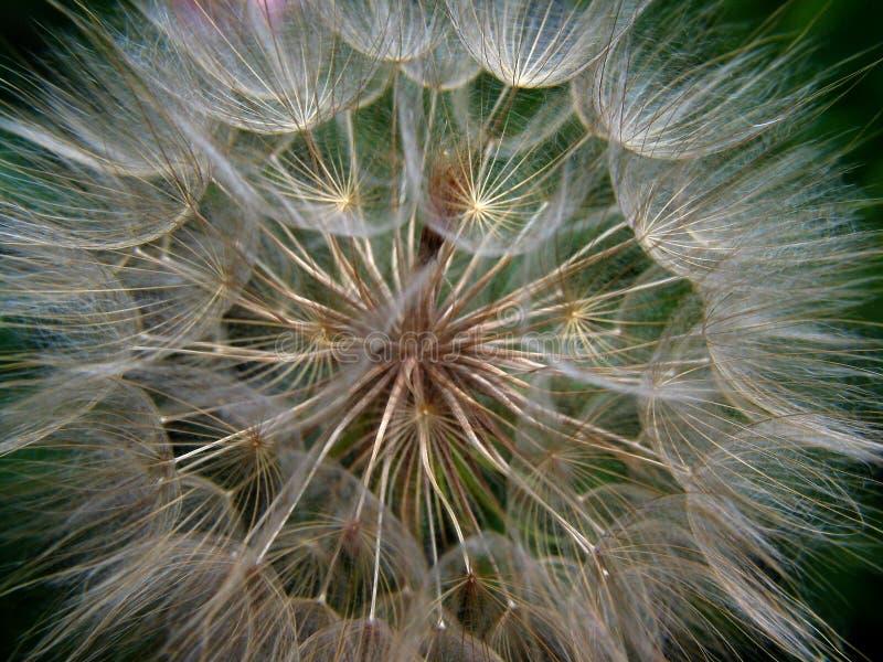 Download Dandelion stock photo. Image of dandelion, green, nature - 140208