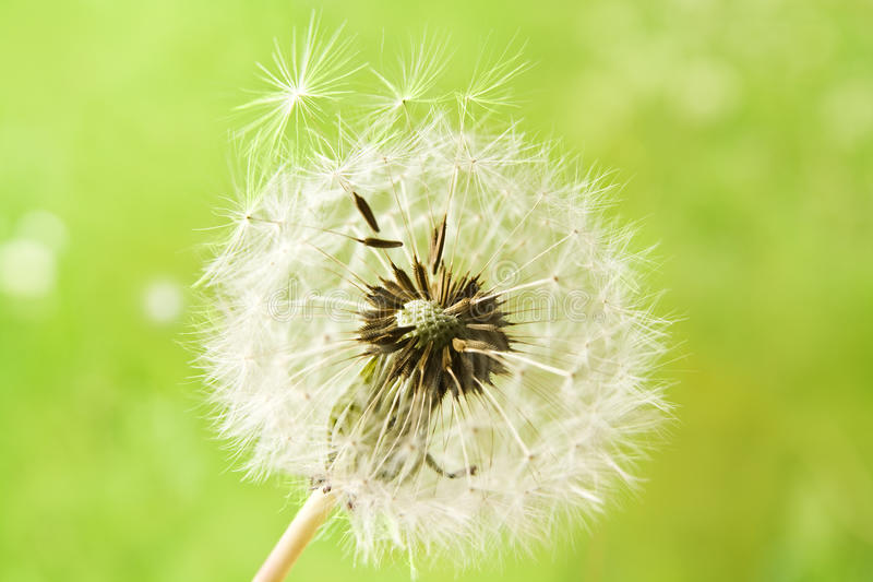 Download Dandelion stock photo. Image of head, nature, green, spring - 14305610