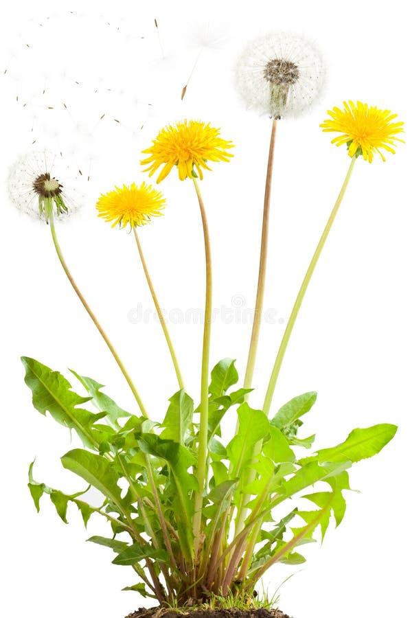 Free Dandelion Royalty Free Stock Image - 14750246
