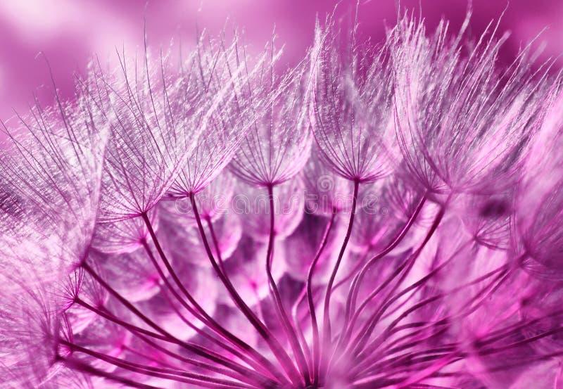 dandelion zdjęcie royalty free