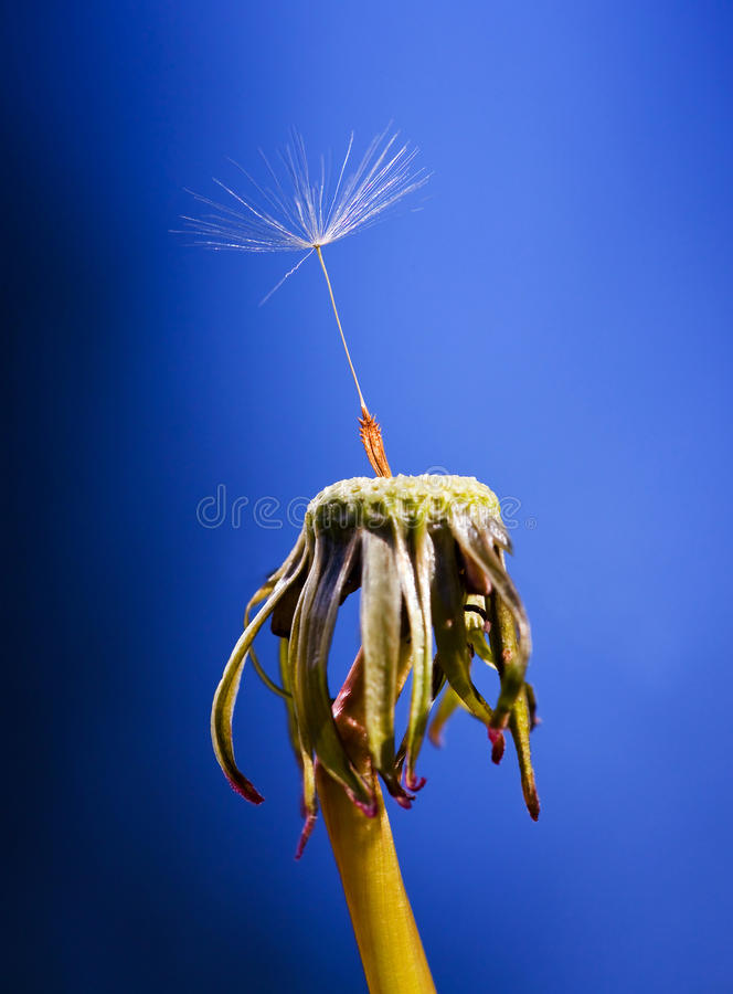 Dandelion. Lonely seed on a blue background stock photography
