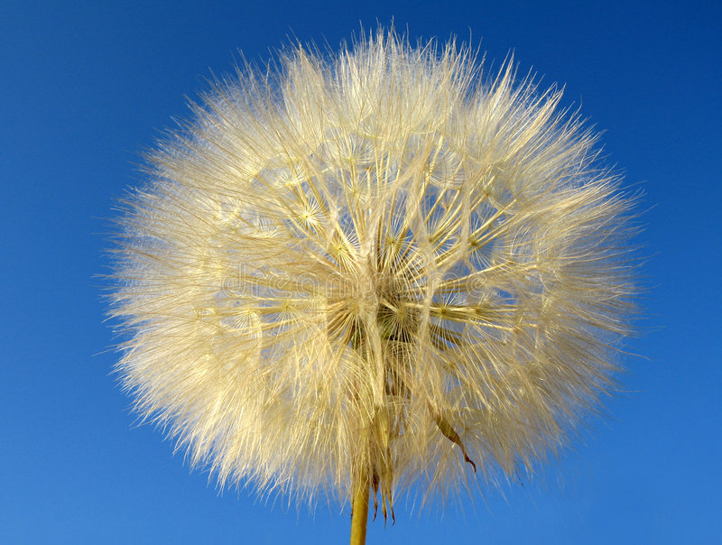 Download Dandelion stock photo. Image of flimsy, pollen, delicate - 169116
