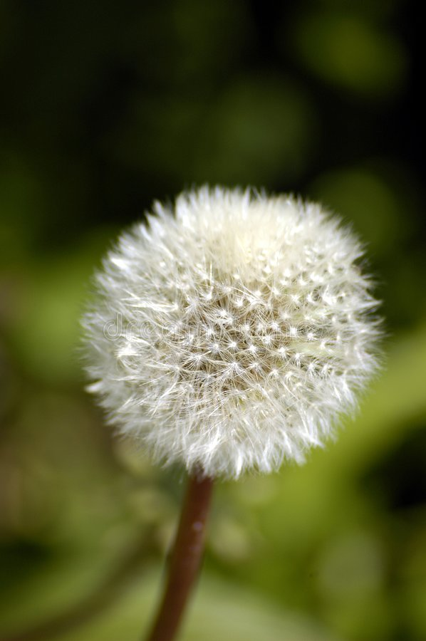 Download A dandelion stock image. Image of seeds, progeny, bloom - 192035