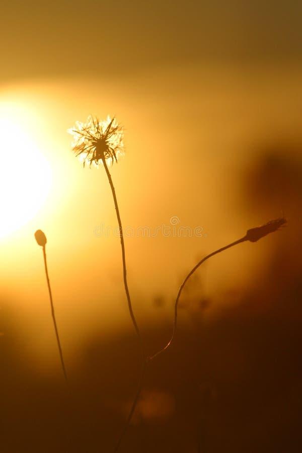 Download Dandelion 2. stock photo. Image of beautiful, dandelion - 247978