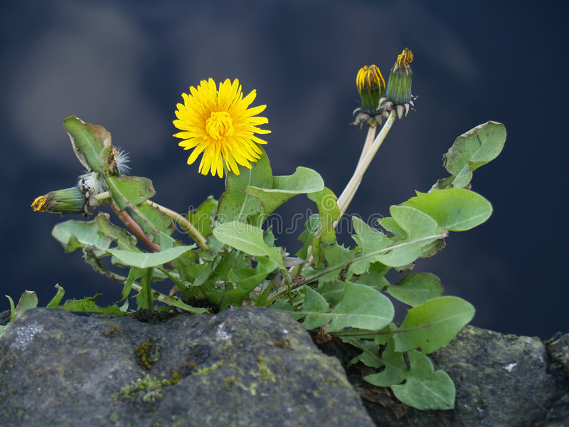 Download Dandelion stock photo. Image of season, nature, blooming - 2141244