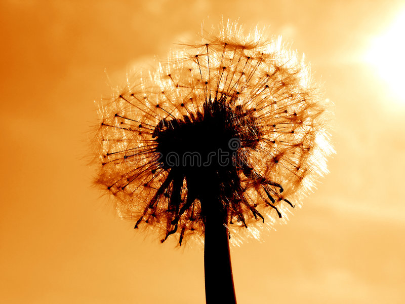 Download Dandelion stock photo. Image of garden, brown, taraxacum - 2181356