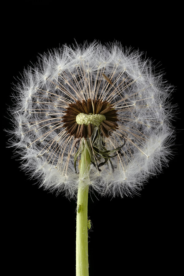 Free Dandelion Royalty Free Stock Images - 2210979