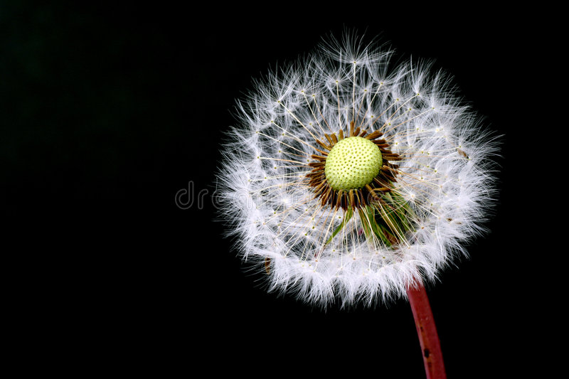 Download Dandelion Stock Photos - Image: 2305793