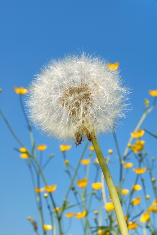 Download Dandelion stock photo. Image of summer, blue, blossom - 2316790