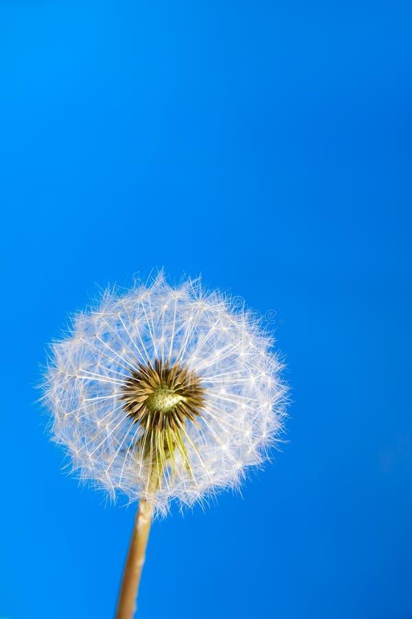 Download Dandelion stock image. Image of luck, heimische, flowering - 23217349