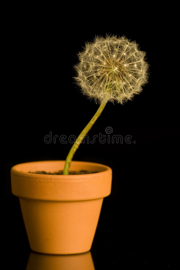 Download Dandelion stock image. Image of blossom, abstract, details - 2324135