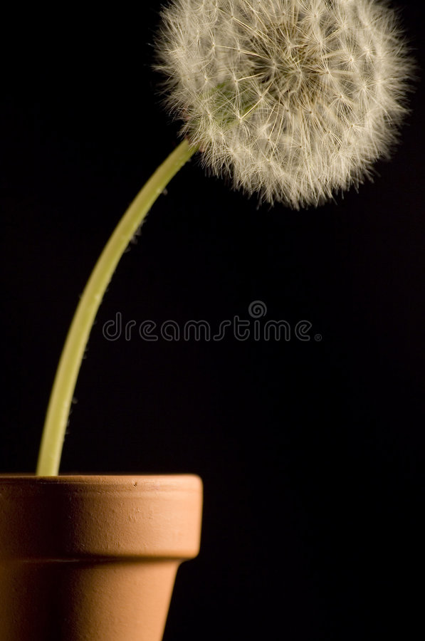 Download Dandelion Stock Photography - Image: 2324172