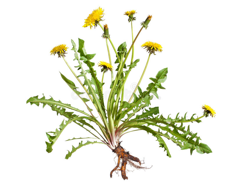 Download Dandelion stock image. Image of flower, white, homeopathic - 24489573