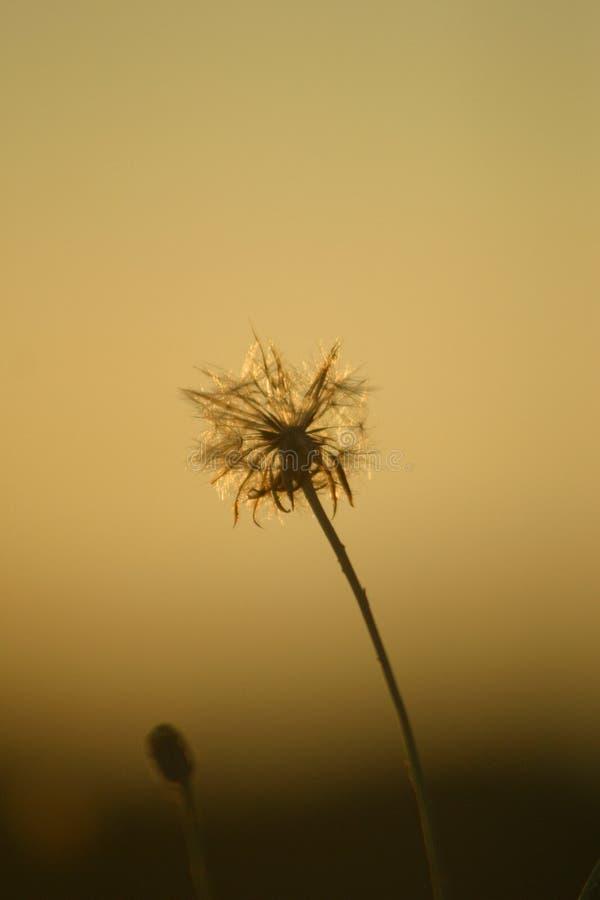 Dandelion. Free Stock Photography
