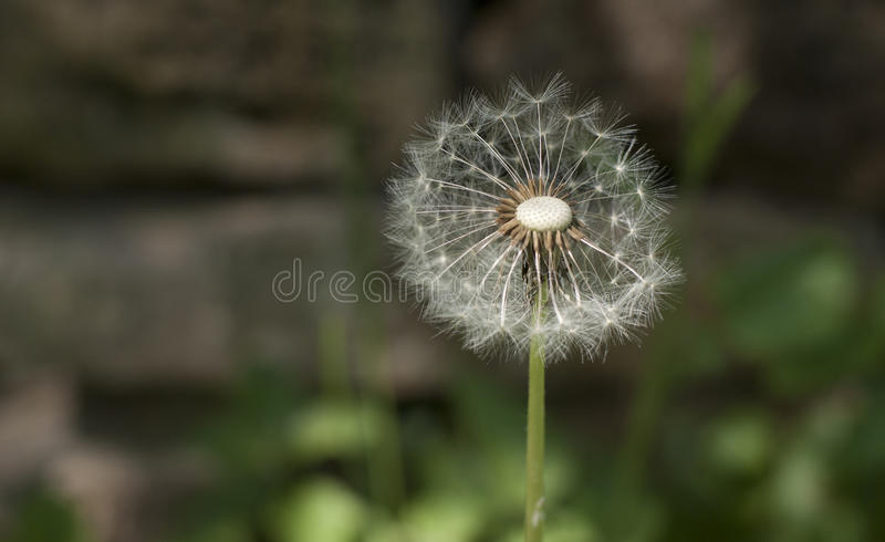 Dandelion. Single dandelion with green and brown unfocused background stock images