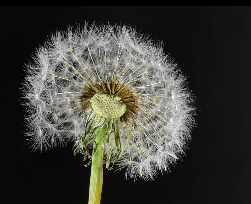 Download Dandelion stock image. Image of background, botanical - 25311239