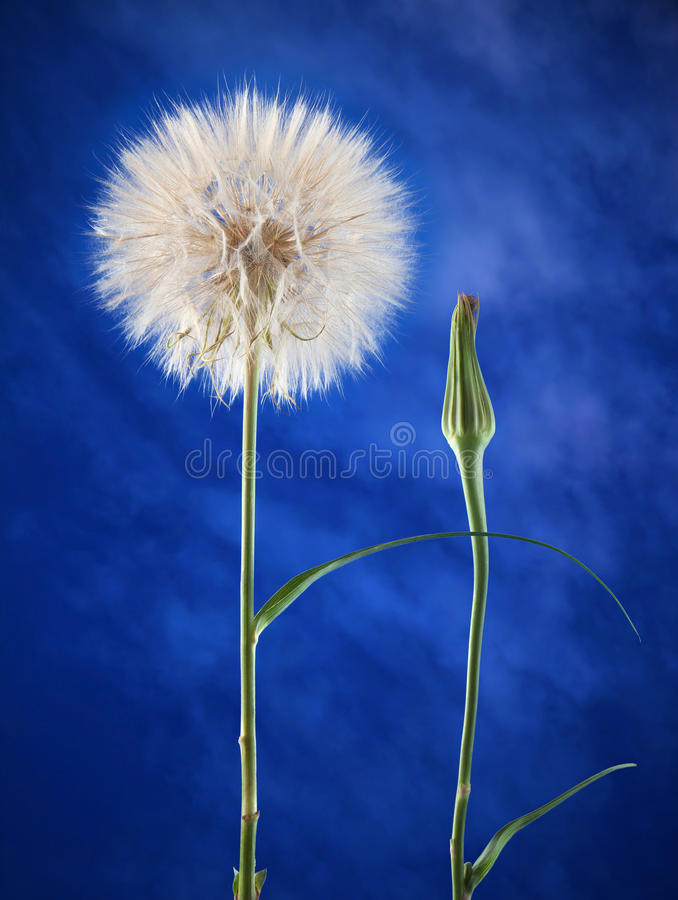 Download Dandelion stock image. Image of season, blue, dandelion - 25596975