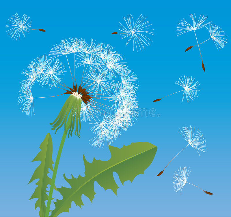 Dandelion. Raster version of vector image of dandelion (contain the Clipping Path of all objects) There is in addition a vector format (EPS 8 royalty free illustration
