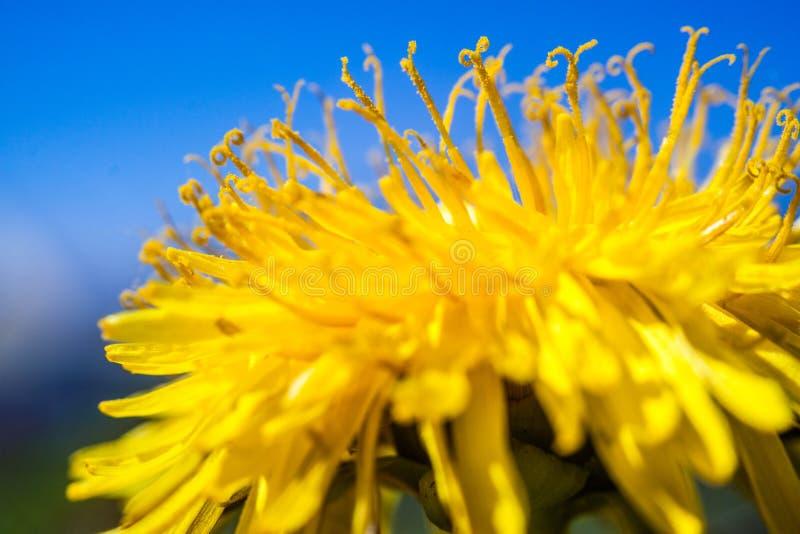 Dandelion obrazy royalty free