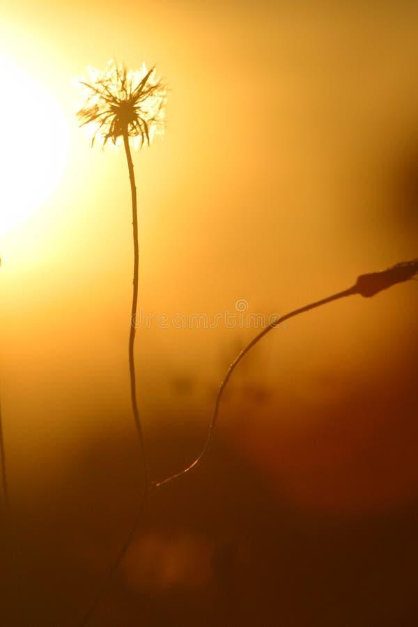 Dandelion 3. stock photography