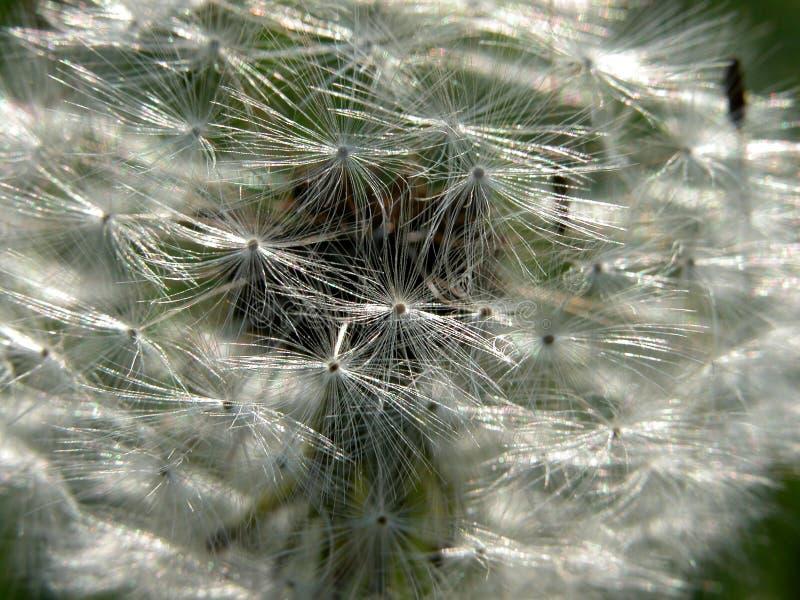 Download Dandelion stock image. Image of radiant, bloom, macro, nature - 397271