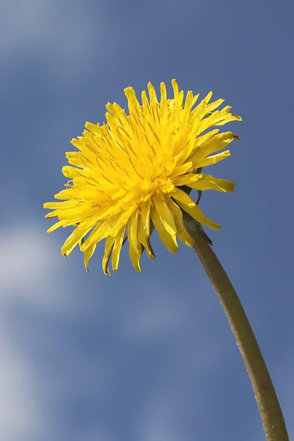 Download Dandelion stock image. Image of garden, portrait, nature - 4808633