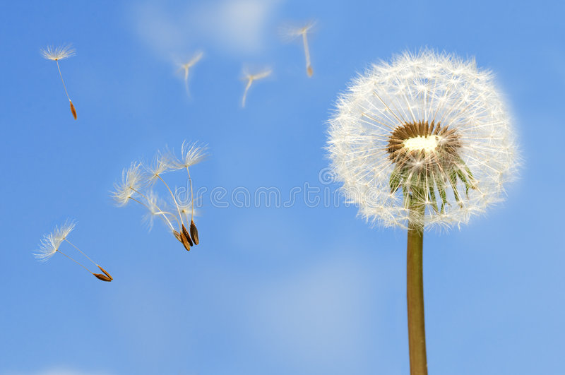Download Dandelion stock photo. Image of plant, freedom, wind, vanity - 5074110