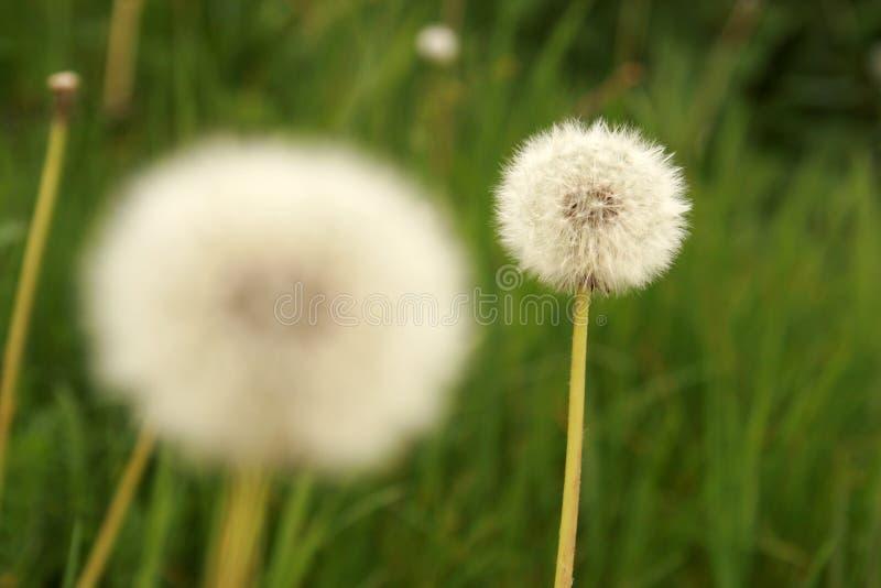 Download Dandelion stock image. Image of seed, officinale, plants - 5305815