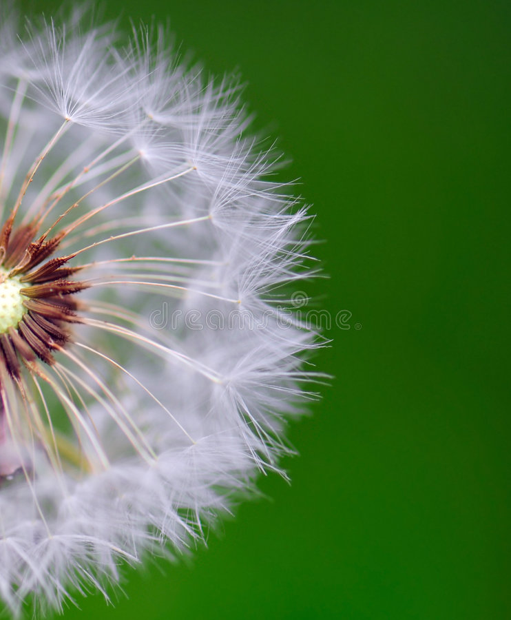Download Dandelion stock photo. Image of floral, fragility, blooming - 5349152