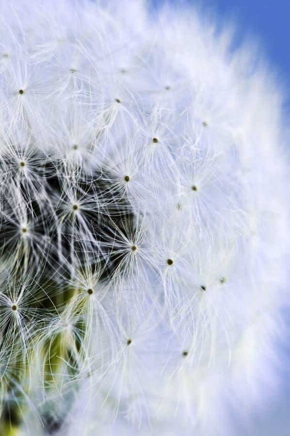 Dandelion. Macro of dandelion seeds on blue sky background stock photos