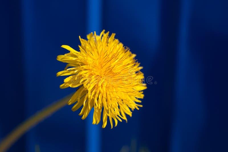 Download Dandelion zdjęcie stock. Obraz złożonej z błękitny, łąka - 57671058