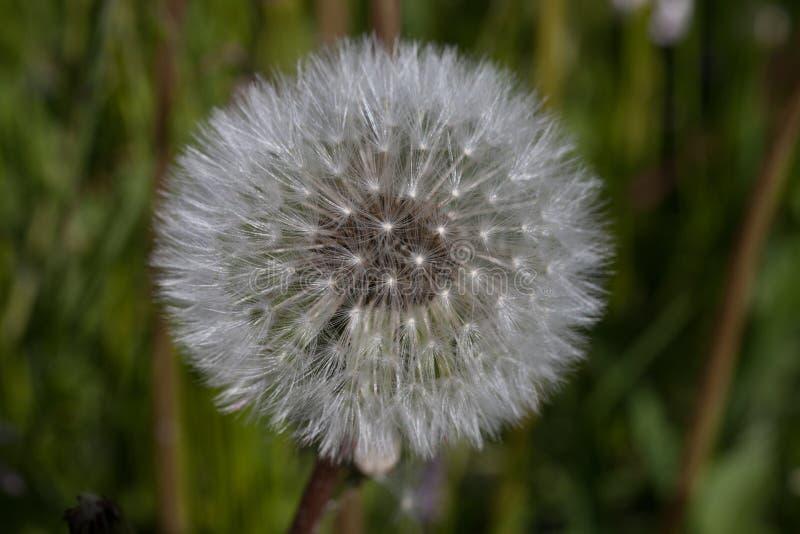 Download Dandelion zdjęcie stock. Obraz złożonej z lato, świeży - 57671348