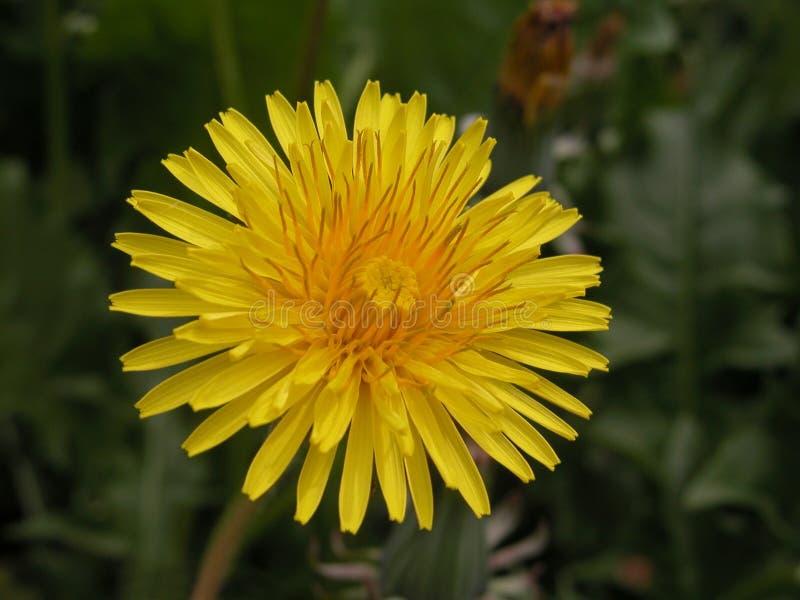 Dandelion stock photography