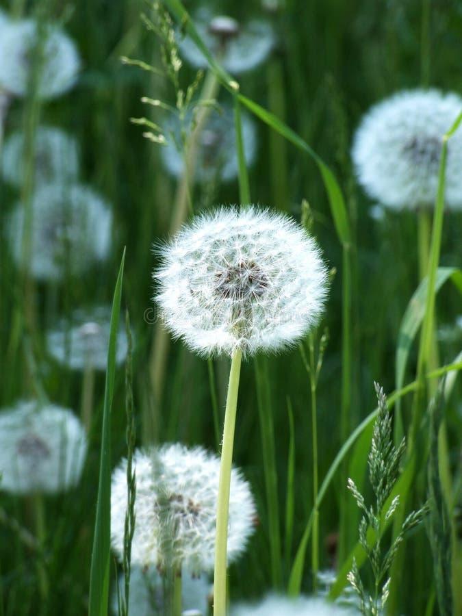 Free Dandelion Stock Photography - 6011032