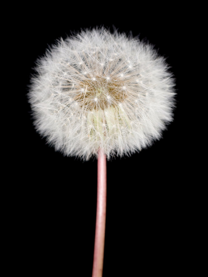 Dandelion. Fluffy dandelion on the dark background stock images